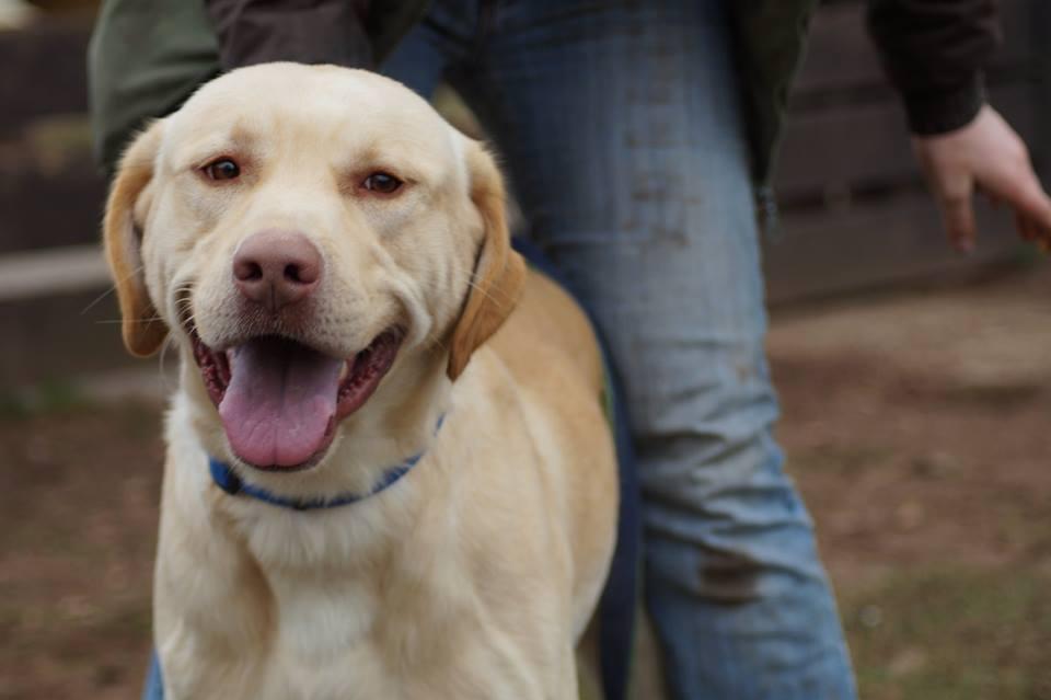Labrador, 2-3 Jahre, Rüde